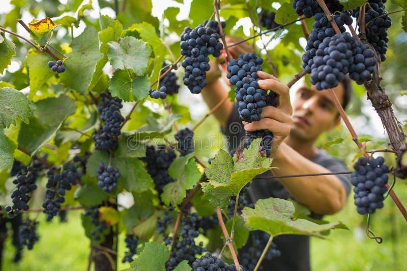 Hübscher junger Weinhändler, der Rebtrauben erntet lizenzfreies stockbild