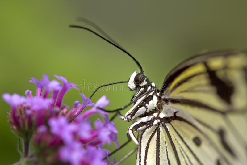 Hübscher Makroschmetterling, der auf Blume stillsteht stockbilder