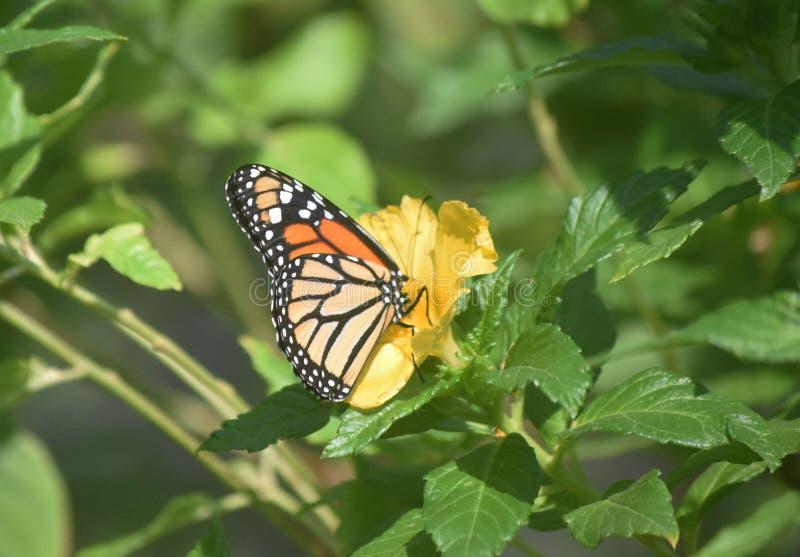 Hübscher Monarchfalter auf einer gelben Garten-Blume lizenzfreie stockfotografie
