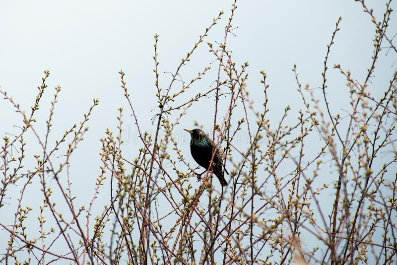 Hübscher Star sitzt auf den Drähten und den Blicken aus dem Vogelhaus heraus stockfoto