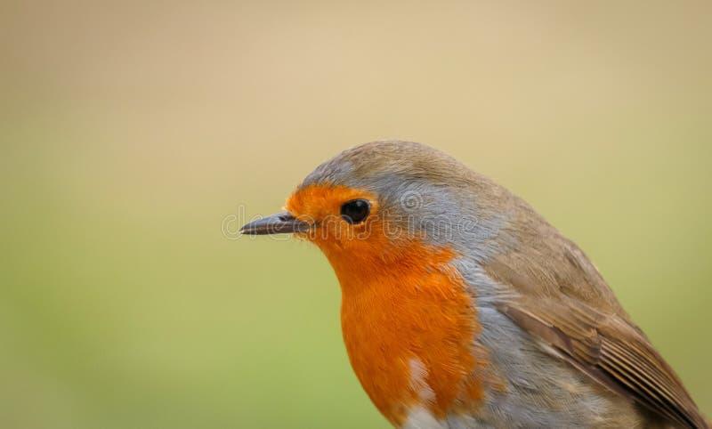 Hübscher Vogel mit einem netten Gefieder des orange Rotes stockfotos