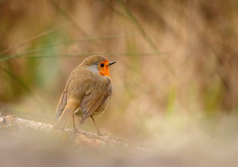 Hübscher Vogel mit einem netten Gefieder des orange Rotes lizenzfreie stockfotografie