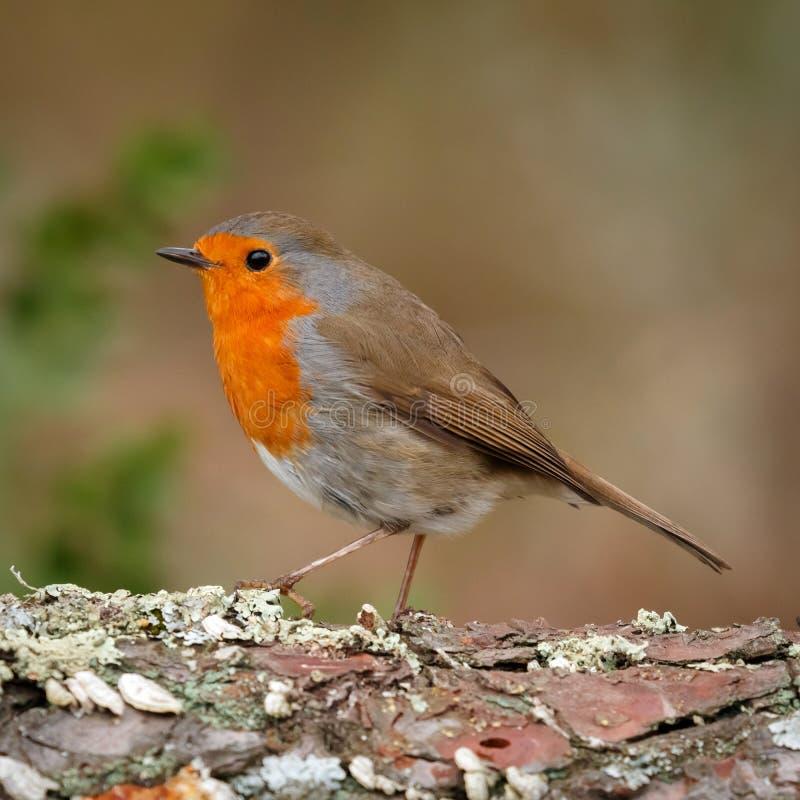 Hübscher Vogel mit einem netten Gefieder des orange Rotes lizenzfreies stockbild