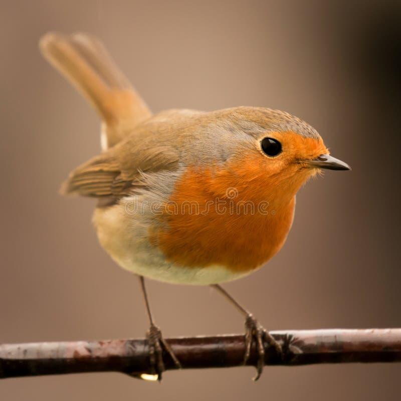 Hübscher Vogel mit einem netten Gefieder des orange Rotes lizenzfreie stockbilder