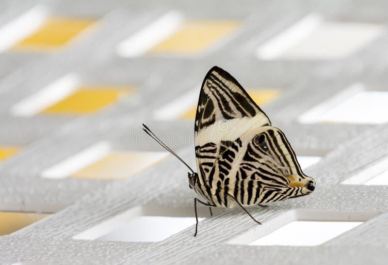 Hübscher Zebra-Schmetterling lizenzfreie stockfotografie