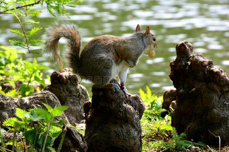 Hübsches Eichhörnchen auf der Wurzel mit Nuss, Park in London lizenzfreie stockfotografie