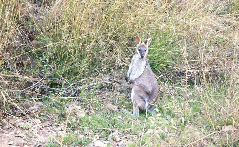 Hübsches Gesichts-Wallaby stockfotos
