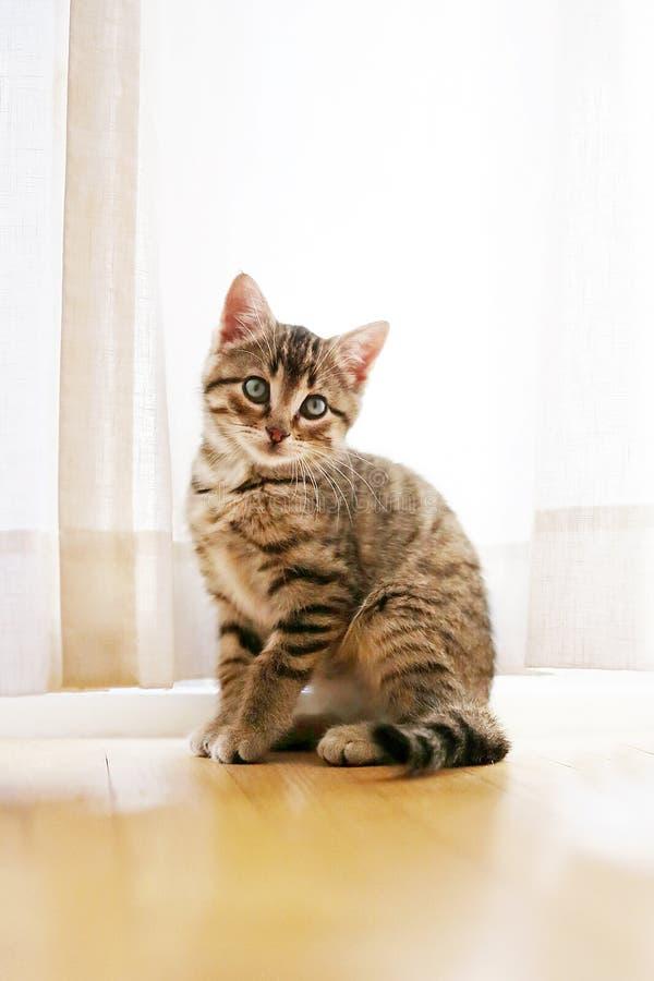 Hübsches Grey Domestic Short Haired Tabby Cat Kitten Sitting in Franc stockbilder