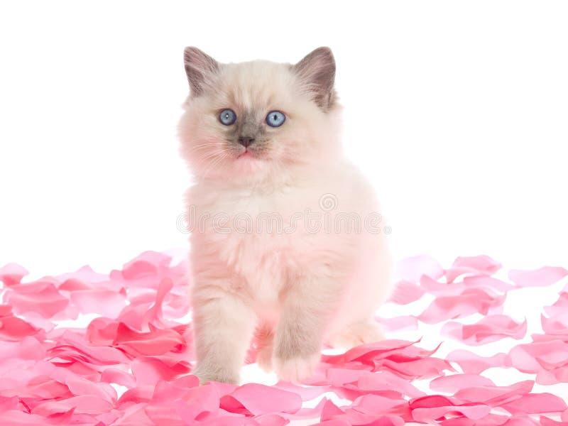Hübsches Ragdoll Kätzchen auf rosafarbenen rosafarbenen Blumenblättern lizenzfreie stockfotos