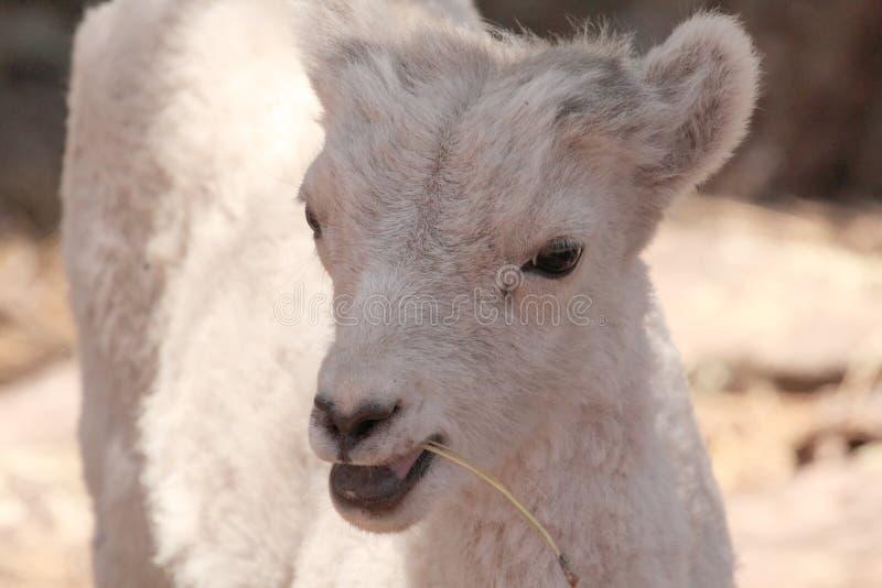 Hügel Billy Dal Sheep lizenzfreies stockfoto