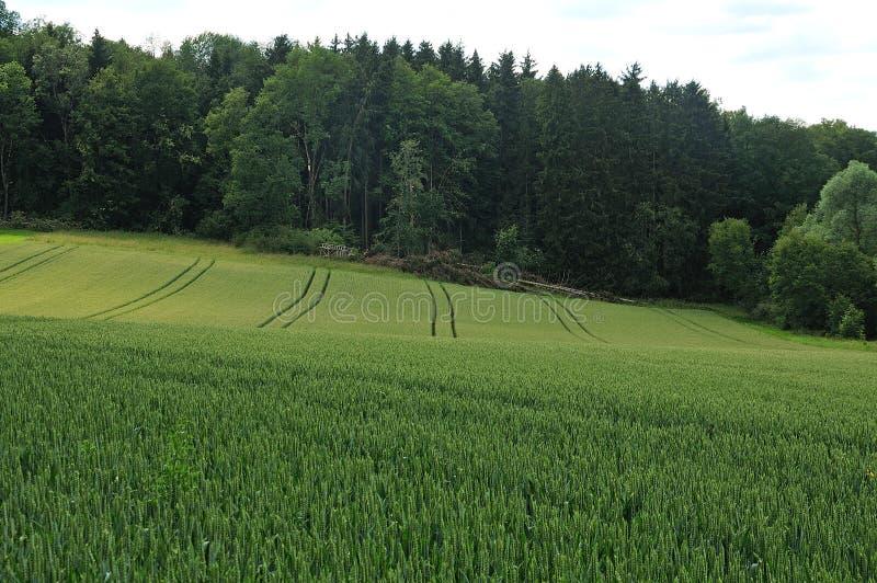 Hügelige Landschaft mit Weizenfeld und -wald stockbilder
