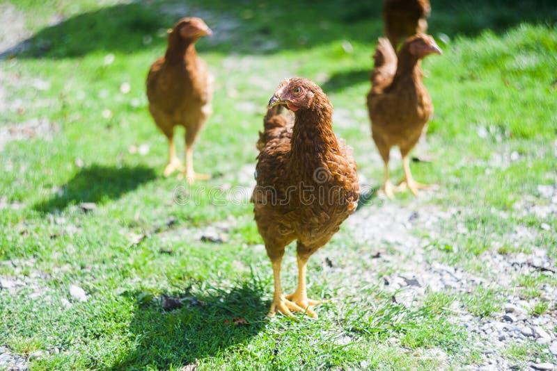 Hühnchen im Gras lizenzfreies stockbild