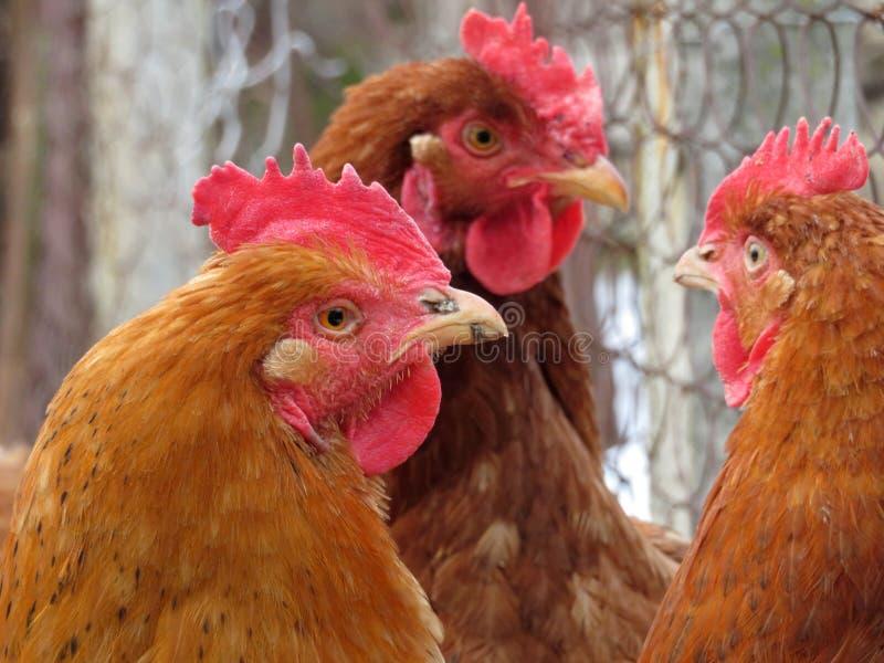 Hühner auf der Geflügelfarm lizenzfreies stockbild