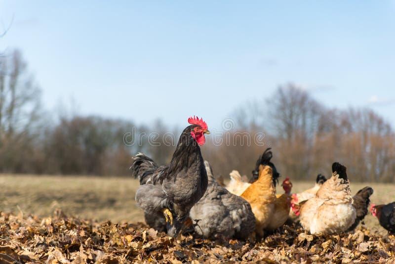 Hühner auf traditioneller Freilandgeflügelfarm lizenzfreies stockbild