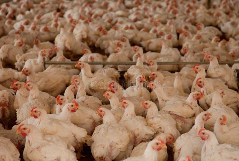 Hühner im Feldbett stockfotografie