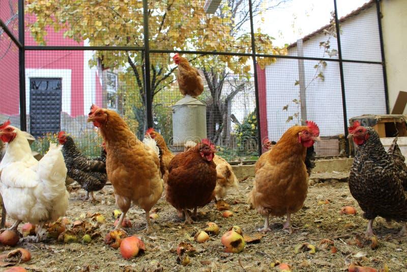 Hühner im Han-Haus stockfotografie
