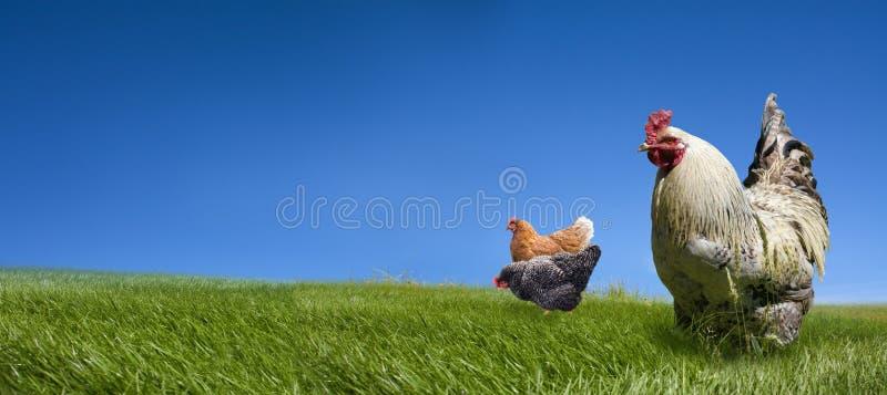 Hühner und Brandhahn auf der grünen Wiese lizenzfreie stockfotos
