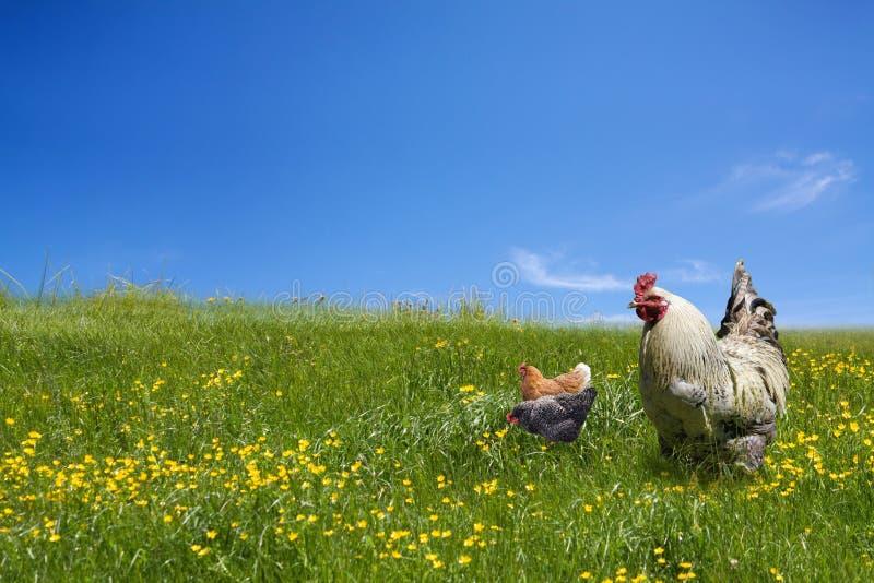Hühner und Brandhahn auf der grünen Wiese stockfotografie