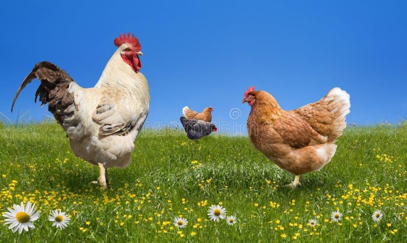Hühner und Brandhahn auf der grünen Wiese stockfoto