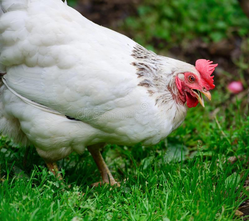 Hühneressen - nahes hohes stockfotografie