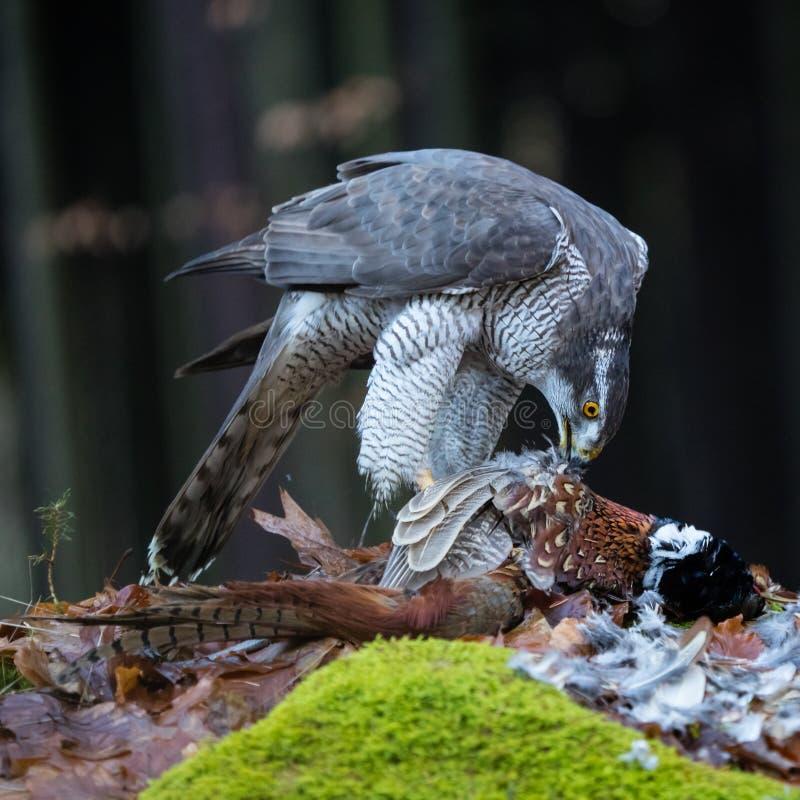 Hühnerhabicht, der auf Fasan einzieht stockfotografie