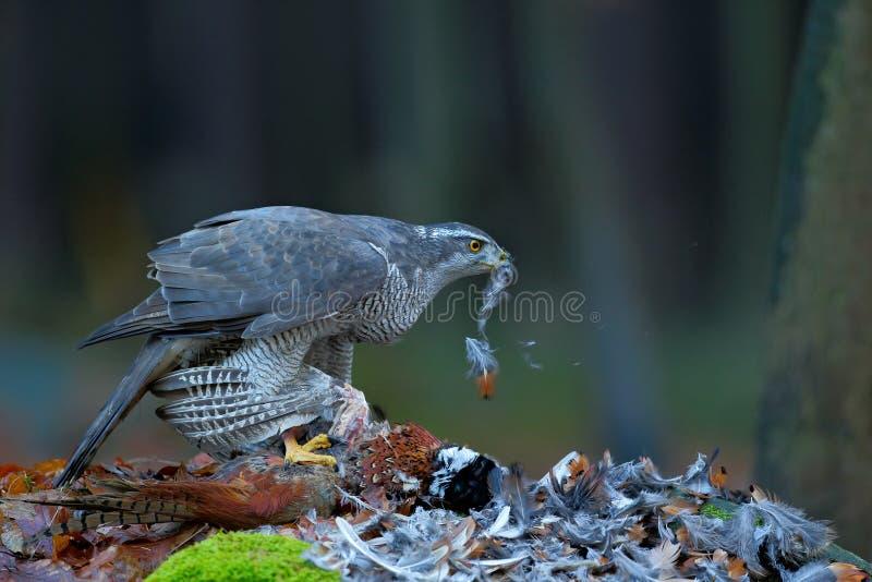 Hühnerhabichttötung allgemeiner Fasan auf dem Gras im grünen Wald, Raubvogel im Naturlebensraum, Norwegen stockfoto