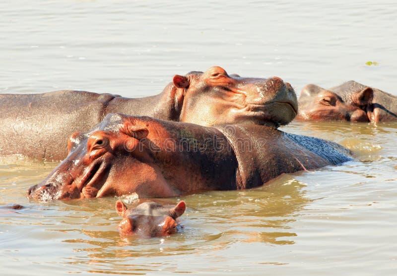 Hülse von Flusspferd ` s, das im Luangwa-Fluss im Sambia sich wälzt stockbilder