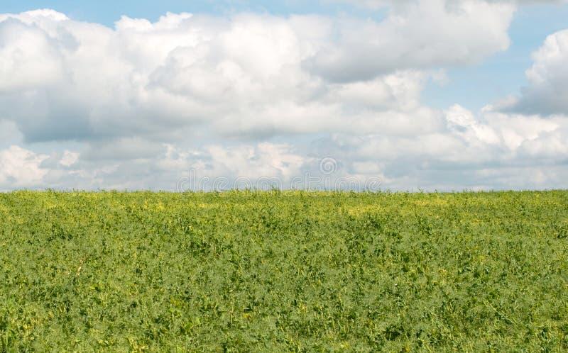 Hülsen der grünen Erbsen lizenzfreie stockfotos