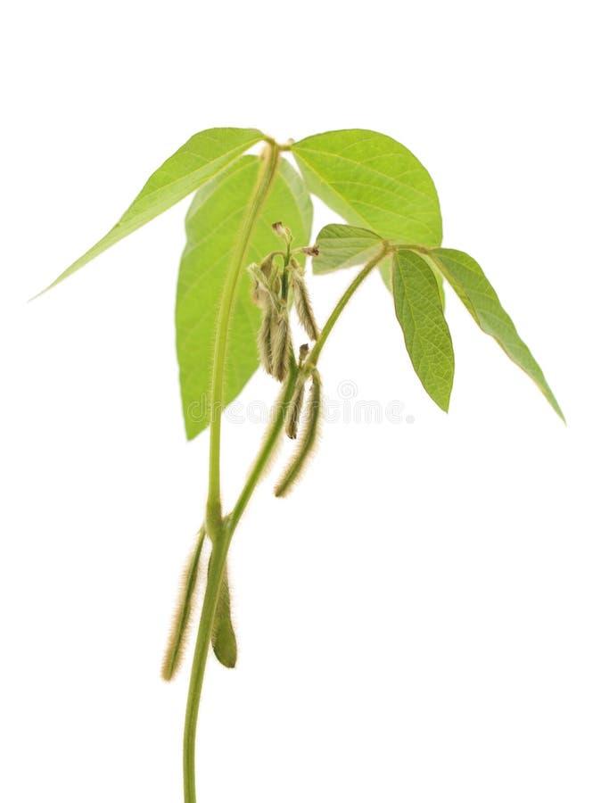 Hülsen der grünen Sojabohne lizenzfreies stockfoto