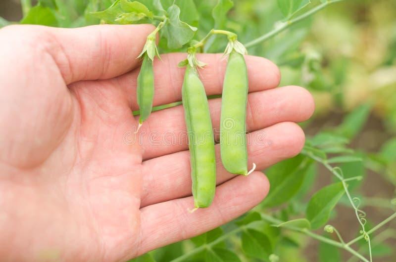Hülsen von jungen Erbsen in der Hand im Garten lizenzfreies stockfoto