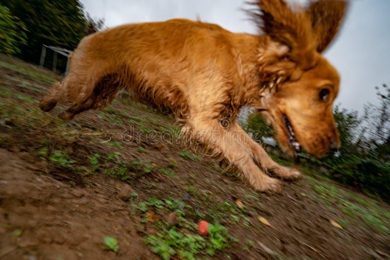 Hündchen cocker spaniel, das in den Herbsthof läuft stockfotografie