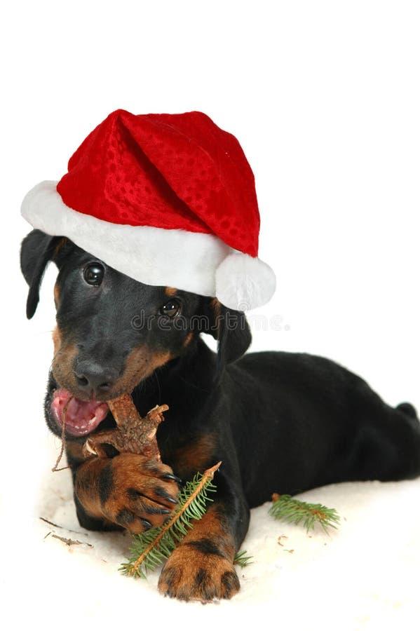 Hündchen mit Weihnachtshut stockfotos
