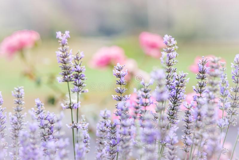 H?bscher frischer Lavendel lizenzfreies stockfoto