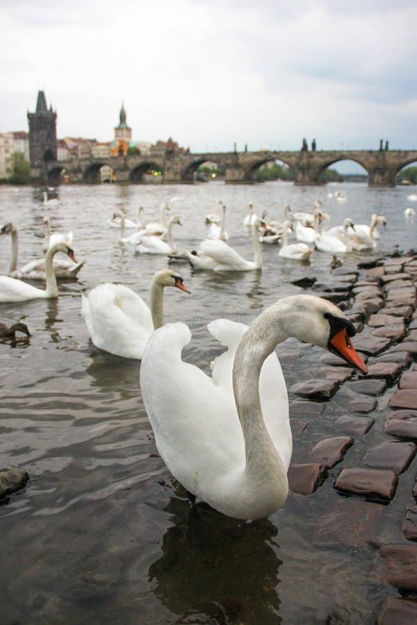 H?ckerschw?ne auf dem Fluss die Moldau nahe bei Charles Bridge, Prag, Tschechische Republik Tourismusanziehungskraft stockfoto