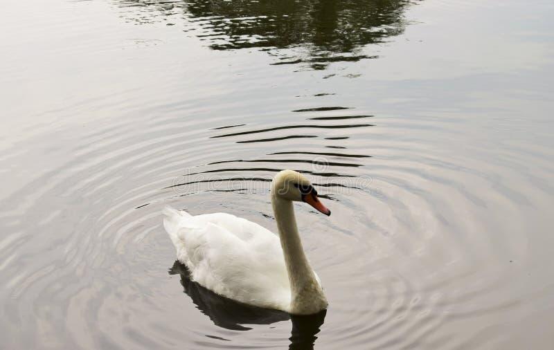 H?ckerschw?ne, die auf dem See schwimmen stockfoto