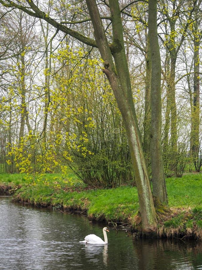H?ckerschwan auf einem Teich stockfoto