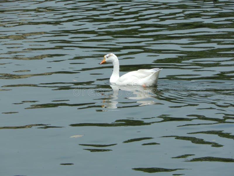 H?ckerschwan auf einem Teich stockbilder