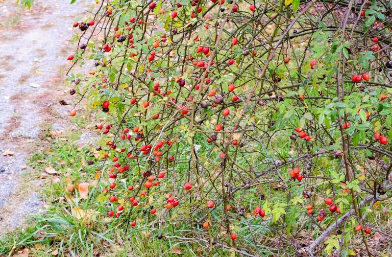 H?ftbuske med mogna b?r B?r av en dogrose p? en buske Frukter av l?sa rosor Taggig dogrose red steg royaltyfria bilder