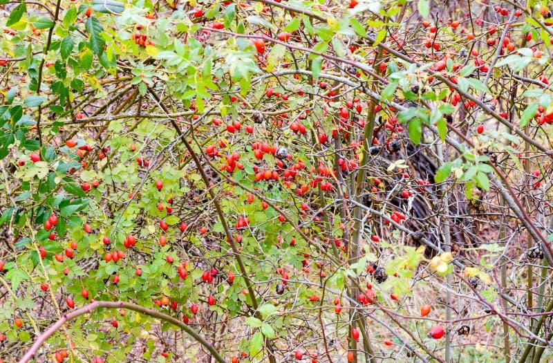 H?ftbuske med mogna b?r B?r av en dogrose p? en buske Frukter av l?sa rosor Taggig dogrose red steg arkivbilder