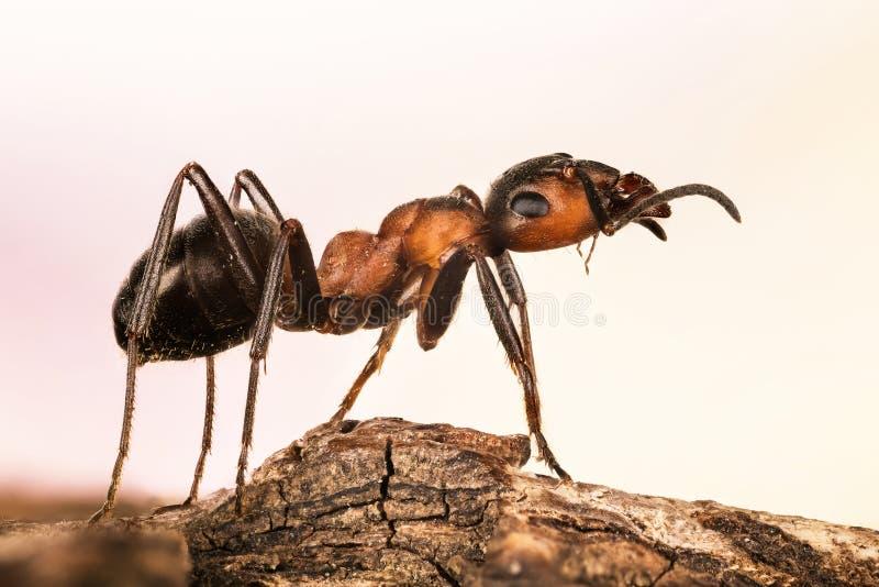 H?lzerne Ameise, Ameise, Ameisen, Resopal rufa lizenzfreie stockfotos