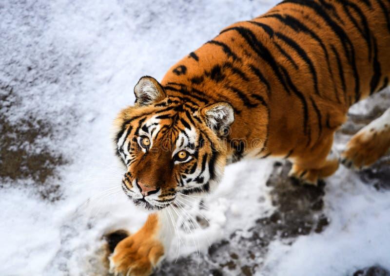 H?rlig Amur tiger p? sn? Tiger i vinterskog royaltyfria bilder