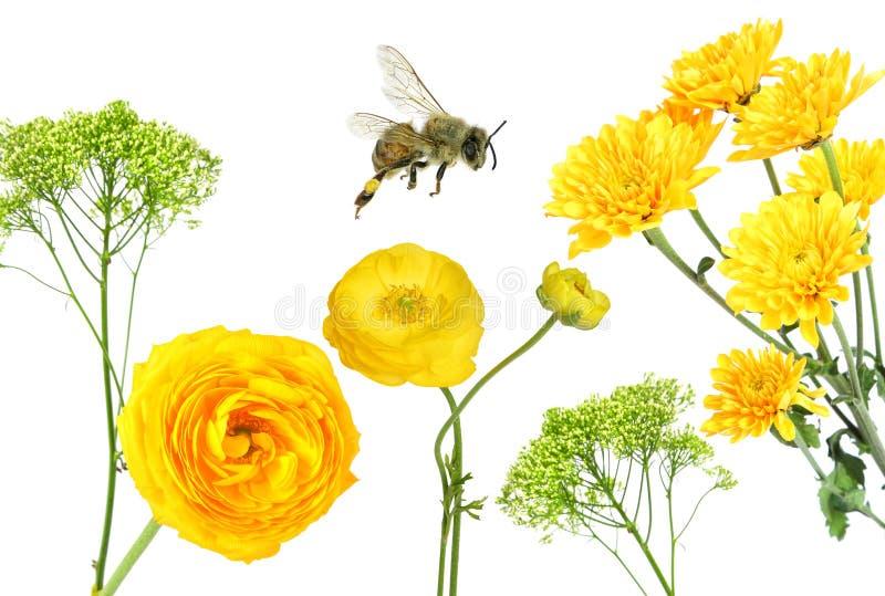 h?rlig blommayellow Smörblomma och Daisy Aster Honey Bee Flying arkivbild