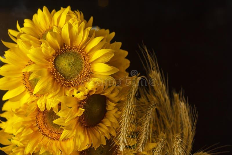 H?rlig bukett av gula blommor f?r varmt pollen av en omogen solrosn?rbild p? svart bakgrund, b?sta sikt, sommar, h?st, arkivbilder