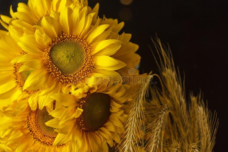 H?rlig bukett av gula blommor f?r varmt pollen av en omogen solrosn?rbild p? svart bakgrund, b?sta sikt, sommar, h?st, arkivfoton