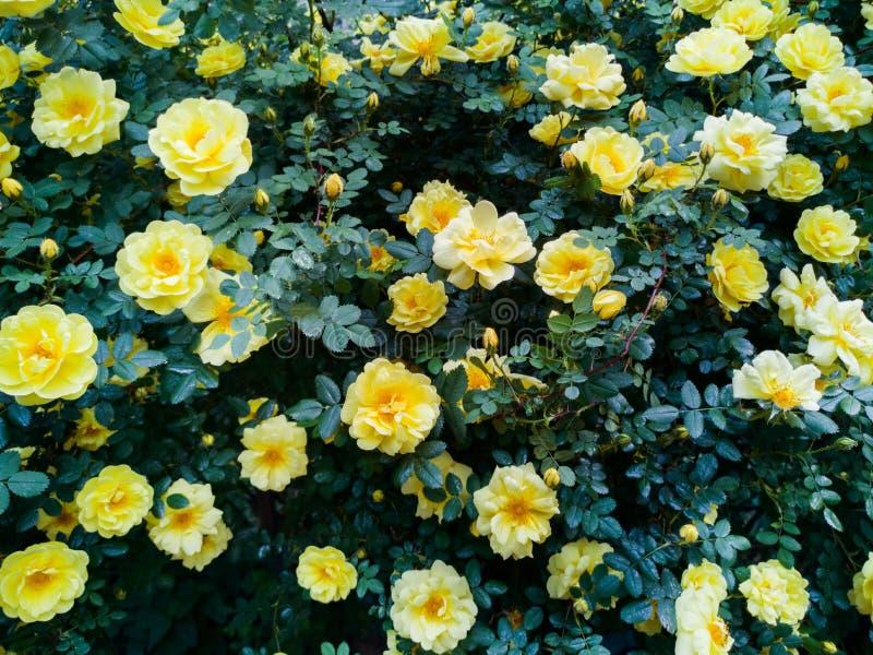 H?rlig buske av gula rosor i en v?rtr?dg?rd arkivbild
