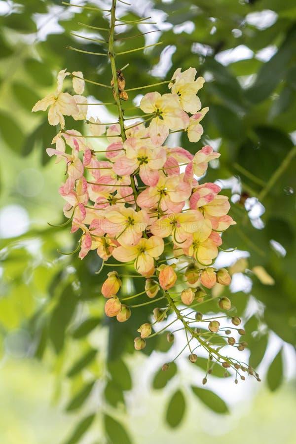 H?rlig Cassia Fistula f?r selektiv fokus som blomma blommar i en tr?dg?rd Ocks? kallade Guld- Duscha, rena Cassia eller indisk gu royaltyfria foton