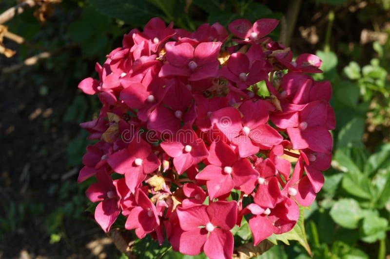 H?rlig delikat v?r som blommar f?rgrik rhododendron i n?rbild i tr?dg?rden arkivbilder