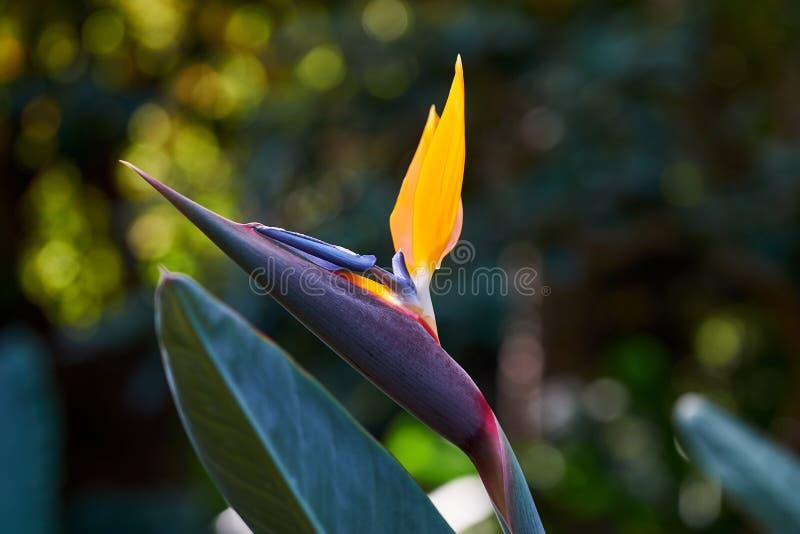 H?rlig f?gel av reginae f?r Strelitzia f?r Paradise blomma i gr?n bakgrund Tenerife Canarian öar royaltyfri foto