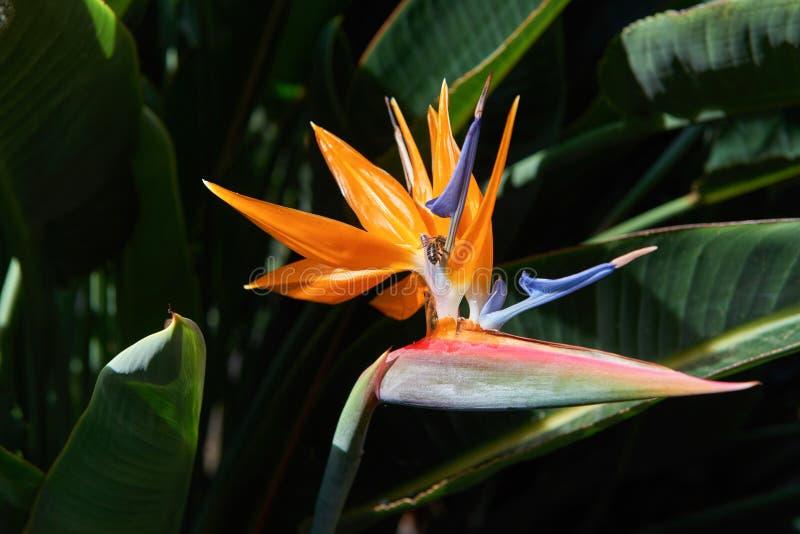 H?rlig f?gel av reginae f?r Strelitzia f?r Paradise blomma i gr?n bakgrund Tenerife Canarian öar fotografering för bildbyråer