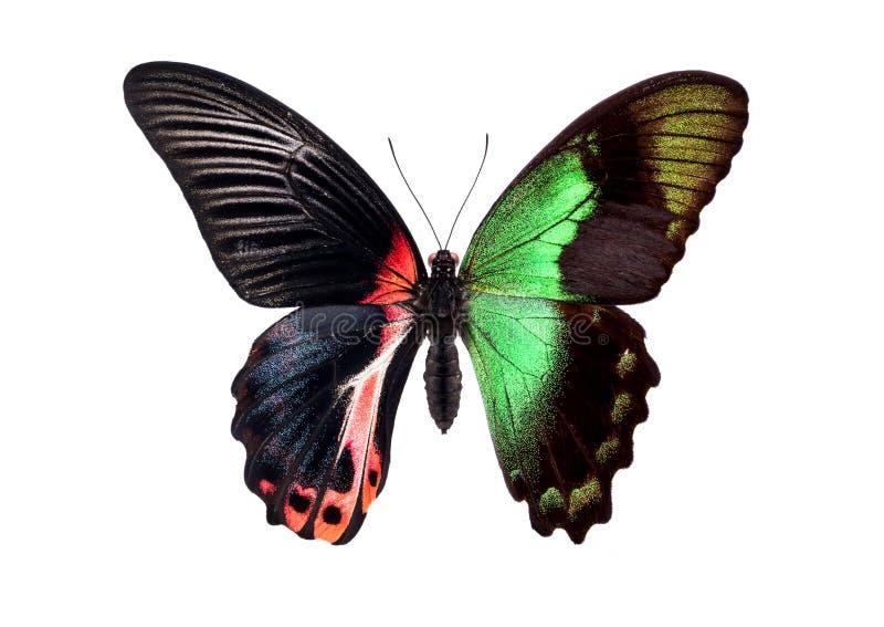 H?rlig f?rgrik fj?ril som isoleras p? vit Röd och grön bland royaltyfri foto